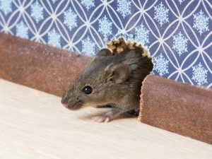 description_of_image_used_in_self_neglect_knowledge_practice_hub_mouse_coming_out_of_hole_in_wall_irinak_fotolia