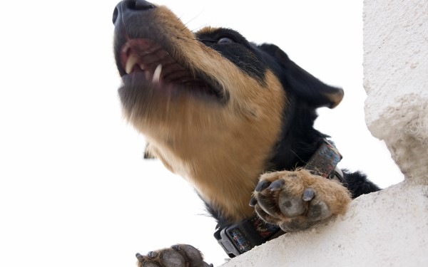 description_of_image_used_in_Inform_summary_working_in_fear_dog_barking_on_wall_FLPA_REX_Shutterstock
